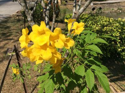 寒さを逃れて初めてのタイ旅行、住むがごとくに NO.3『チャン島 』2日目の2 花々樹木