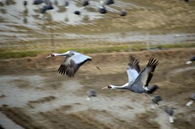 2015年初旅 南九州・鹿児島の自然と歴史にふれる旅【4】~万羽の鶴が優雅に舞う姿に感嘆し、薩摩武士の鼓動が今も残る武家街を巡る~