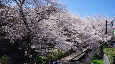 津田山から宿河原まで桜散策
