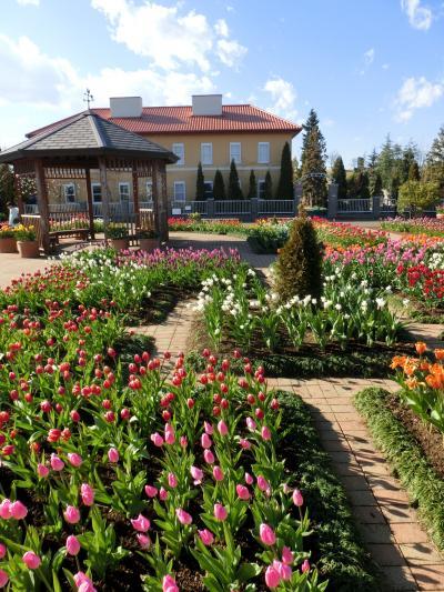 平塚花菜ガーデン 1月は「ウィンターチューリップ」の花園