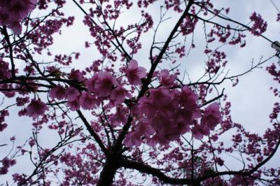 今年初めての旅は沖縄④(日本一早いお花見)