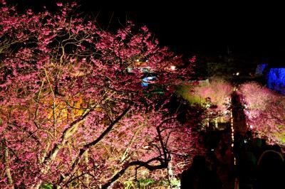 沖縄本島北部から日本一早い桜だより【2】~世界遺産と桜のライトアップ♪ 2015・今帰仁グスク桜まつり編~