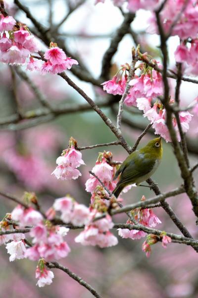 沖縄本島北部から日本一早い桜だより【3】~さくら、ひとあし、お咲きに♪ 2015・本部八重岳桜まつり編~