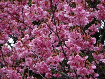 都内で早い時期に見れる桜は荏原神社の寒緋桜