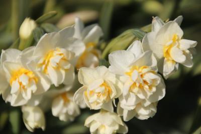 水仙の花を見に