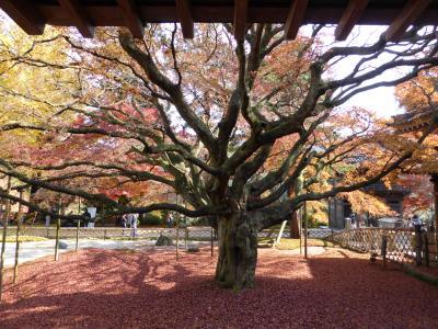 晩秋の紅葉をたのしむ:(2)樹齢400年の大楓 in 雷山千如寺