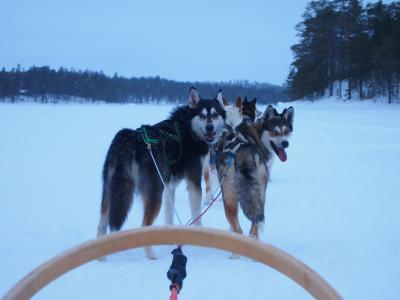 オーロラに迎えられ、そして見送られ・・・フィンランド女子二人旅③犬ぞり