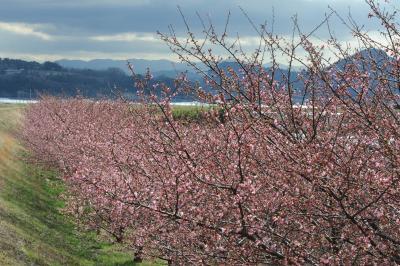 かんなみの桜を見に行く(初めてのバス旅)