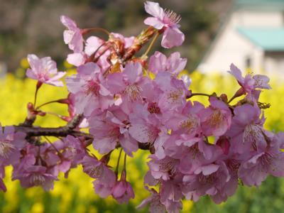 道路は激混み、8時間半かかって満開の南伊豆みなみの桜へ