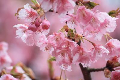 代々木公園の河津桜~見ごろです!
