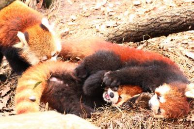冬に逆戻りしたような早春の多摩動物公園レッサーパンダ詣(3)レッサーパンダの子どもたち3頭同居:毛色も性格も3頭3様~兄ちゃん気質のヤンヤンとマイペース・フーフー兄弟&ヤンヤンを慕う一人っ子ライライ