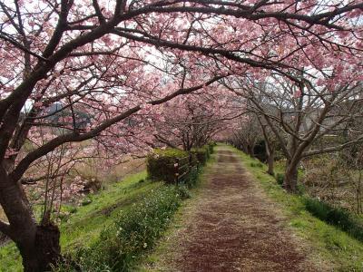 河津桜と菜の花めぐりの伊豆旅2(南伊豆町下賀茂温泉編)