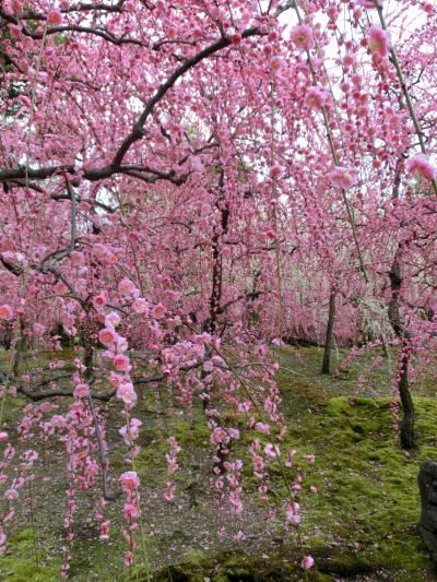 満開の枝垂れ梅 in 城南宮 part1 ~ 青春18きっぷで京都の息子に会いに行く