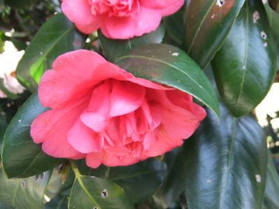 つばきの咲き始め神代植物公園(その二)と深大寺散策