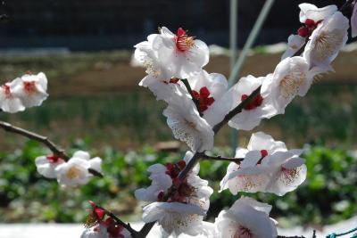 数少ない農地に春を呼ぶ梅(川崎)