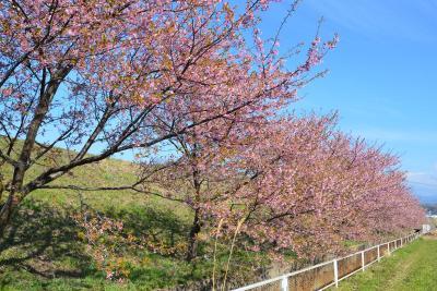 函南桜を見て来ました 2015.03.12