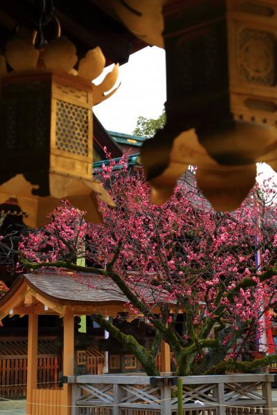 京都 北野天満宮の境内の梅