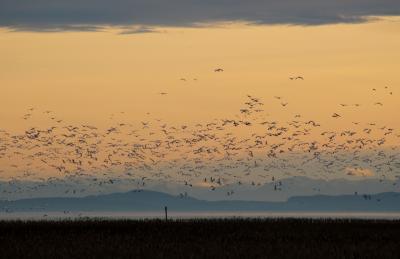 ライフェル渡り鳥保護区(2回目): ハクガンの大群&冬の散歩