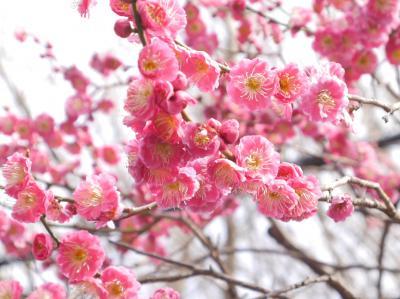 川口安行 梅巡り☆パンポルテ☆2015/03/14