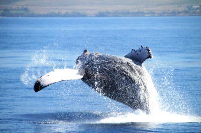 ハワイの風と出会う旅 4(鯨との出会いと懐かしい友との再会に感動)