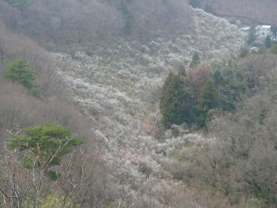 西渓園のウメ_2015(2)_栃木県・足利市