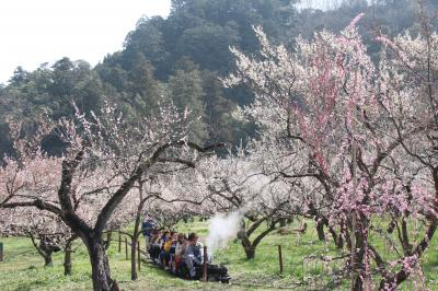 春の日差し下の越生梅林とレッサーパンダ詣(1)梅トンネルもうるわしゅう満開の見頃ぎりぎり越生梅林