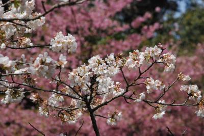 日本全国の桜が見られる多摩森林科学園(東京高尾)