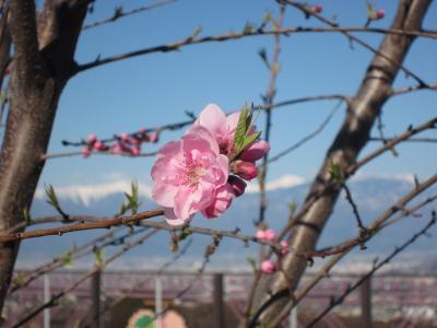 ぶらり山梨県1泊2日の旅(さくら・ももの花の開花はまだでした。)