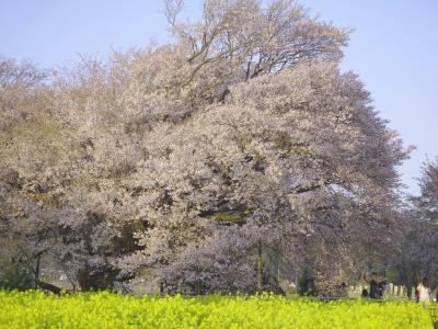 【桜を見よう】阿蘇一心行の大桜