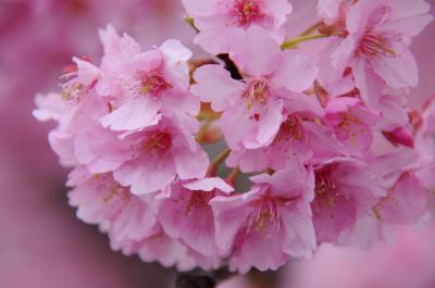 みなみの桜と下賀茂の湯
