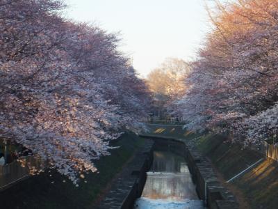 ほぼ満開の桜鑑賞