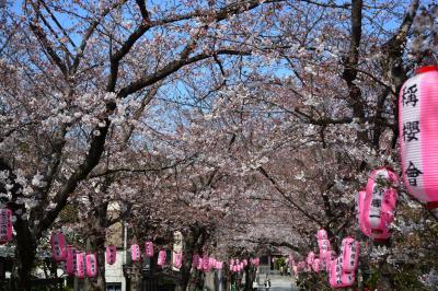 2015年3月28日 横浜 金沢文庫 称名寺の桜の開花は2分咲きでしたが、気持ちよく、 お花見しました。翌日は、もう6~7分咲きで、びっくり!