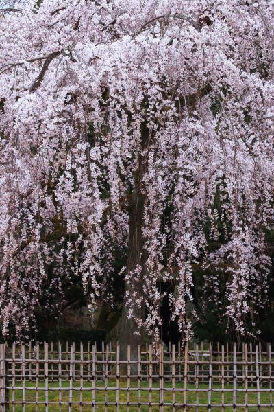 京都 早咲き桜めぐり~京都御苑、友禅苑、六角堂