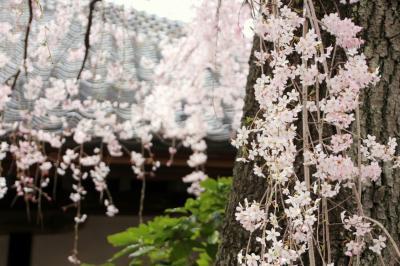 川越 喜多院、中院の桜