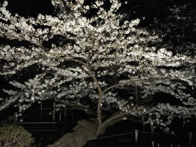 井の頭公園夜桜