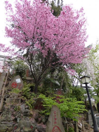 桜散歩(六義園~湯島天神)