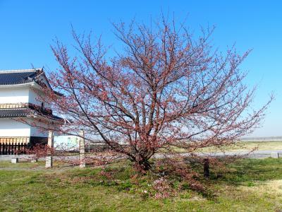 九華公園桜2015