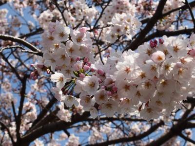 桜~お花見にいってきました・別府公園~扇山桜の園編.。o○