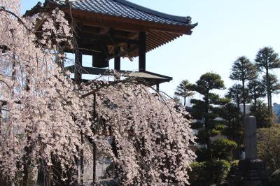 あきらめなくて本当に良かった!~今日の小川町のカタクリとレッサーパンダ詣(2)西光寺のしだれ桜と山の麓の満開の桜とニリンソウなどのさまざまな早春の花たち