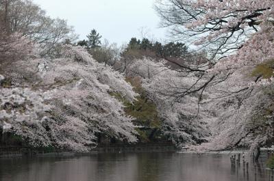 満開の桜  IN 井の頭公園