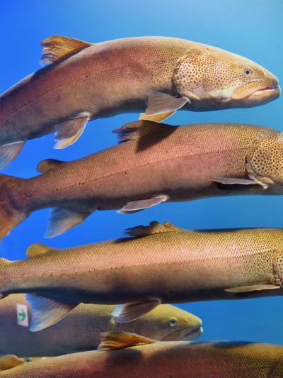北の大地の水族館c 《イトウを展示する水槽》 幻の大魚40匹も ☆堂々の風格を漂わせ