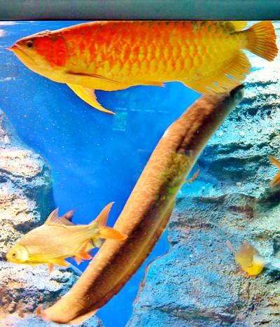 北の大地の水族館e 《世界の熱帯淡水魚》 ピラルクは巨体を優雅に ☆アマゾン・アフリカからも