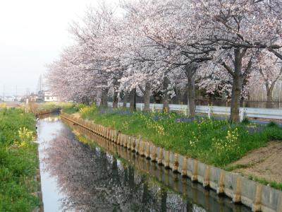 早朝ウォーキングで桜を愛でながら市内各地を巡る・・・①平成国際大学から鷲宮神社の桜