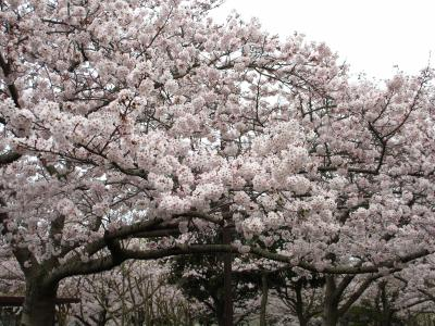 2015年 山陽小野田市・須恵健康公園で花見 曇なので花は色鮮やかではありませんでした。