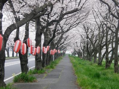 早朝ウォーキングで桜を愛でながら市内各地を巡る・・・②久喜市上清久さくら通り他の桜