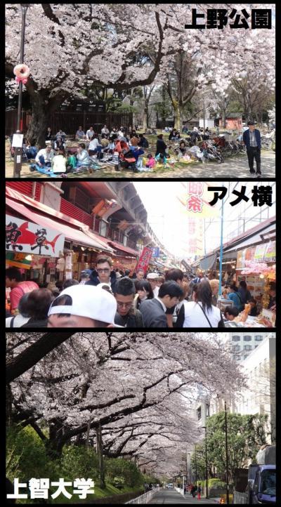 桜満開:上野公園&アメ横&上智大学