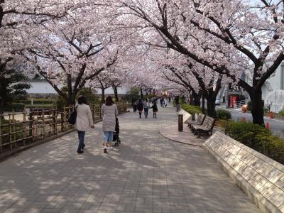 桜満開の清州城