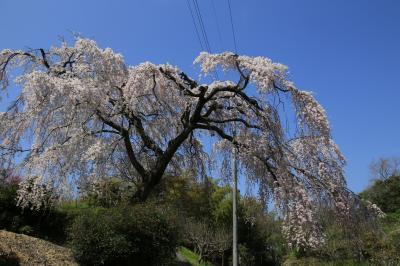 旅するイルカ♪ 桜だより 2015 Part5 大阪府 熊取町 枝垂桜へ