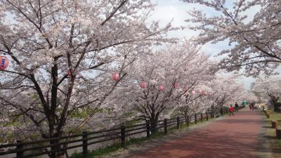 五条川の桜 -2-