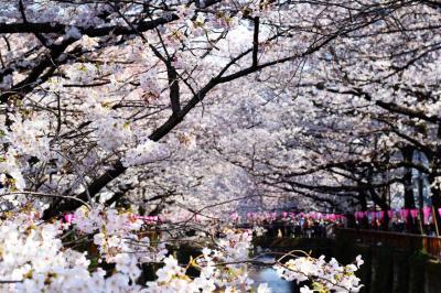 お花見散歩♪ -目黒川~千鳥ヶ淵-